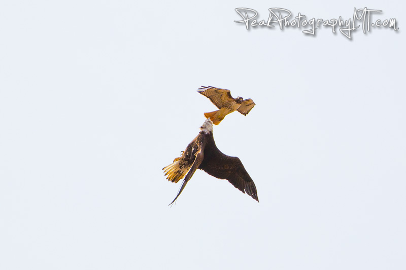 Red Tailed Hawk chases a Bald Eagle