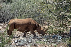 The rhino affectionately known as Horn