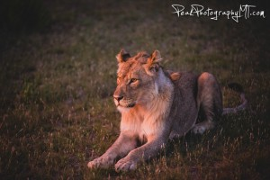 A young lion in Namibia